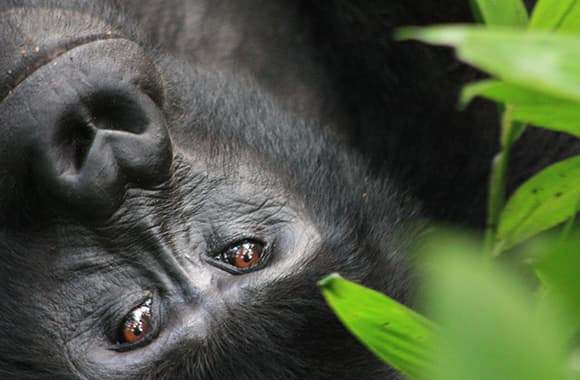20 Years of IGCP: Balancing the needs of both gorillas and people