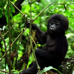 Exotic plants a concern in Mgahinga Gorilla National Park