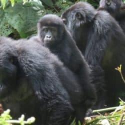 Embracing transboundary mountain gorilla movement