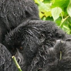 What you need to know about the best time to track mountain gorillas