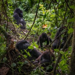 Mountain gorilla census – joint global release