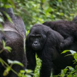 Better Methods, More Effort, and More Mountain Gorillas