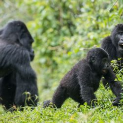 Data and Sample Collection for Mountain Gorilla Count in Virunga Completed