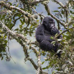 Road Construction Could Harm Mountain Gorilla Conservation,Tourism.