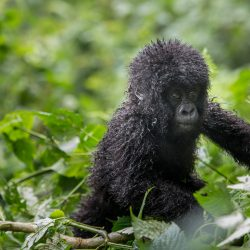 Rwanda places a high value on its mountain gorillas