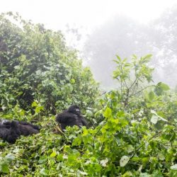 2018: A Year of Field Work: Mountain gorilla survey in Bwindi Impenetrable National Park and Sarambwe Nature Reserve