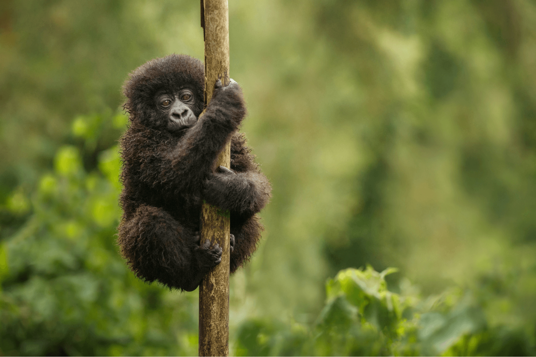 Securing the Future for Mountain Gorillas