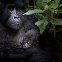 Bwindi Mgahinga Conservation Area Registers Record-breaking Baby Boom for Endangered Mountain Gorillas!