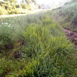 Over  13 Hectares of Pennisetum Planted to Control Soil Erosion in Rwanda