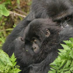 Famous Mountain Gorilla Group-Susa Splits!