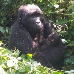 More Gorilla Babies