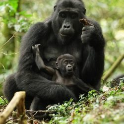 WHY DOES IT MATTER FOR MOUNTAIN GORILLA CONSERVATION?